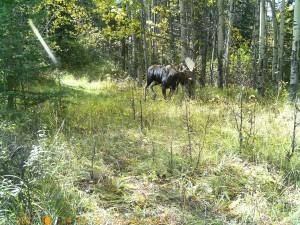 Big Moose